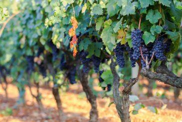 Qual é o Melhor Vinho Primitivo?