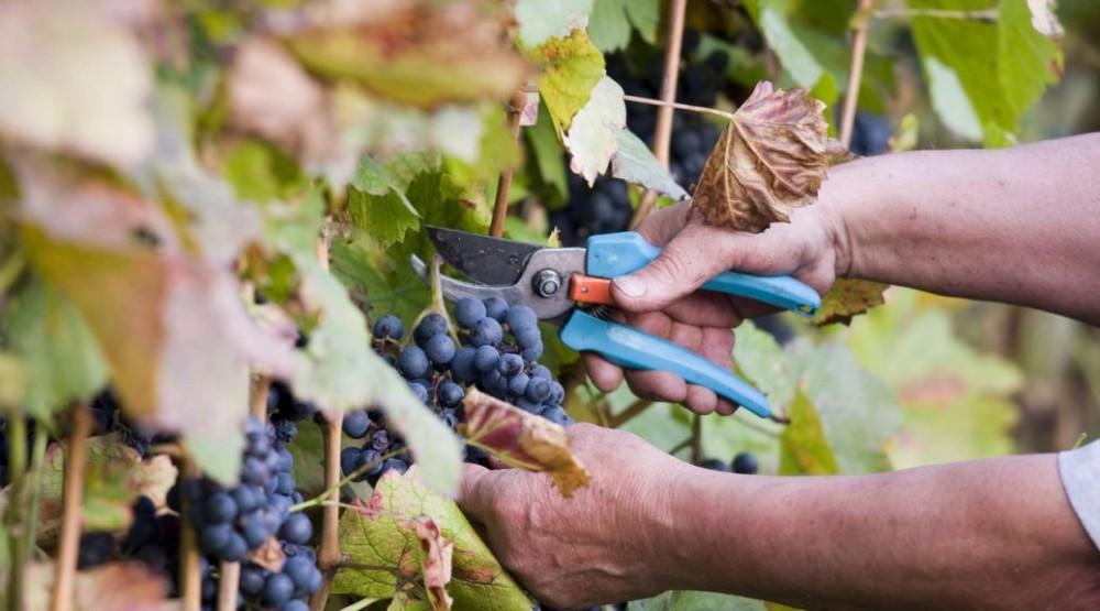 Colheita das Uvas
